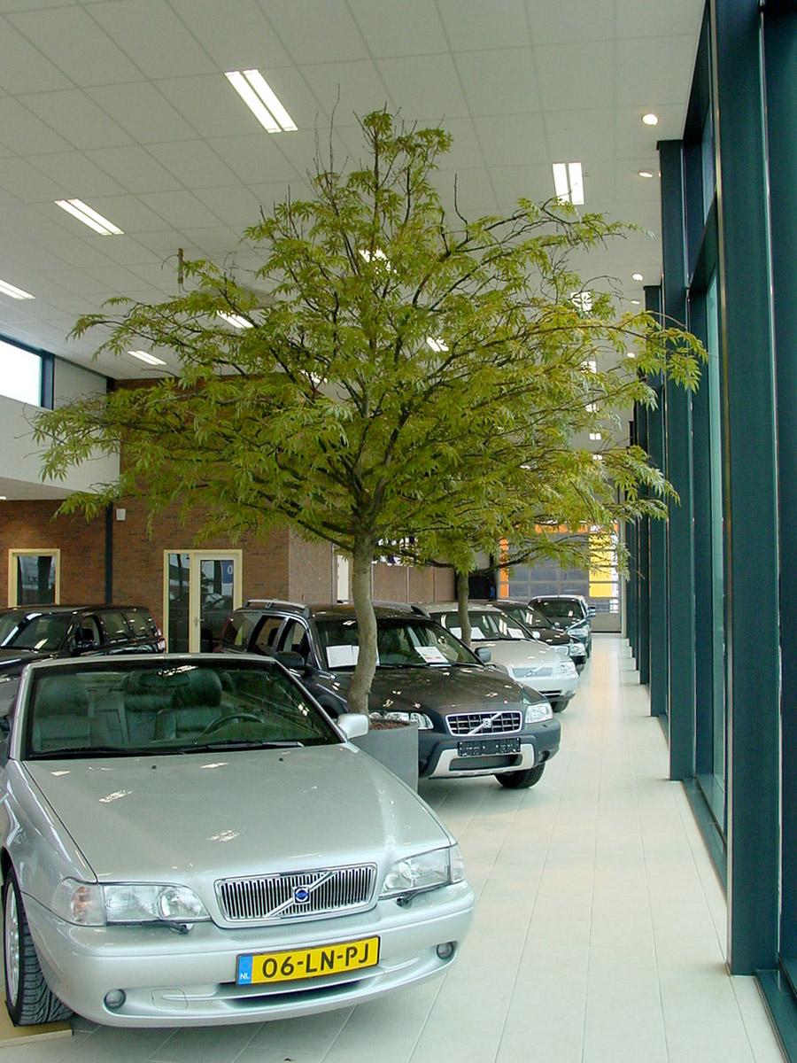 Esdoorn kunstbomen 350cm hoog in een autoshowroom. Circa 12 jaar geleden geleverd en nog steeds staan deze kunstbomen in volle glory in deze showroom.