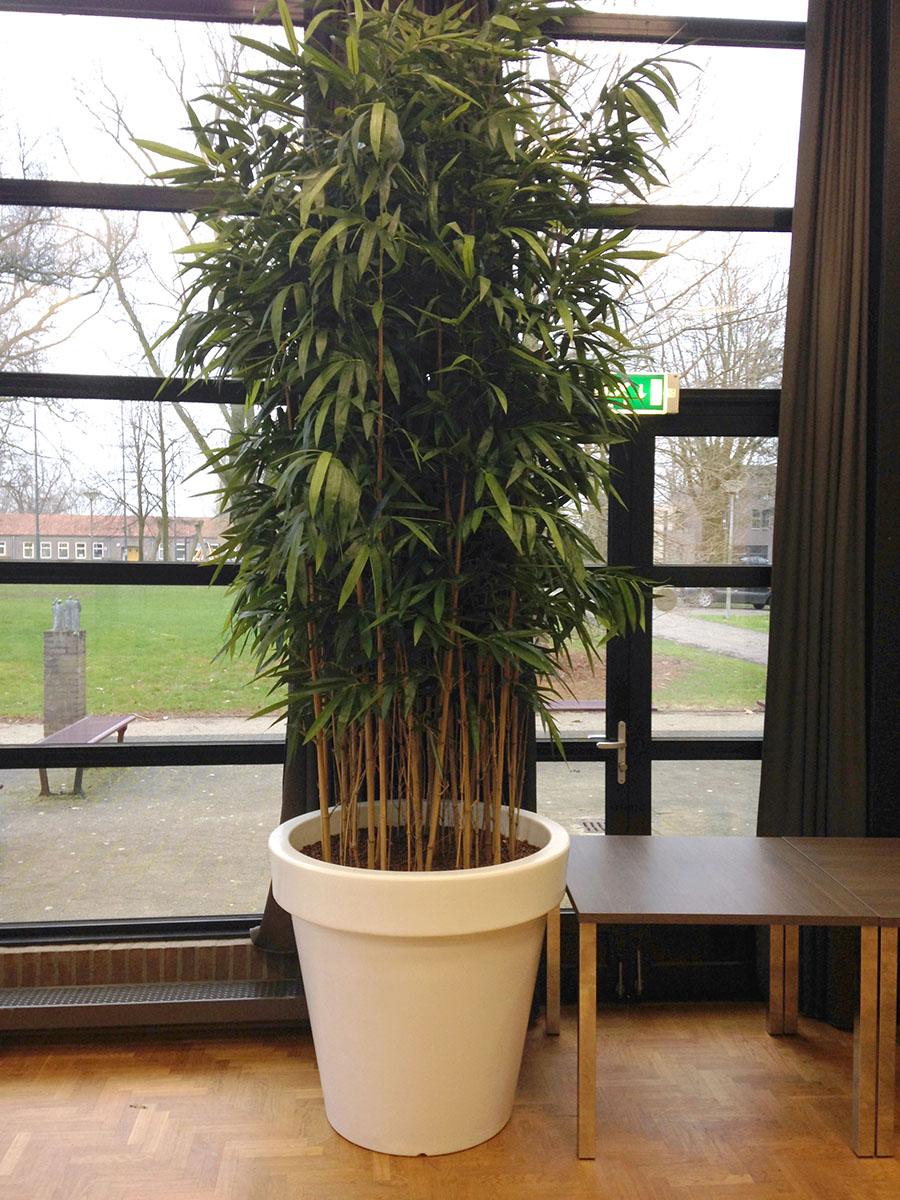 Op maat gemaakte bamboe kunstplant van 300cm hoog in witte BLOOM pot.