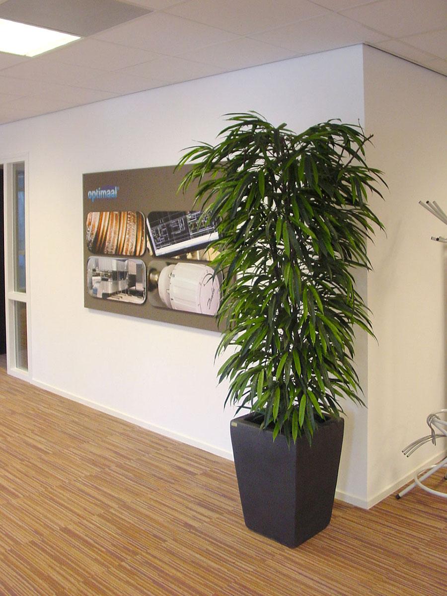 Deze Ficus Longifolium is in elk model en afmeting verkrijgbaar.
